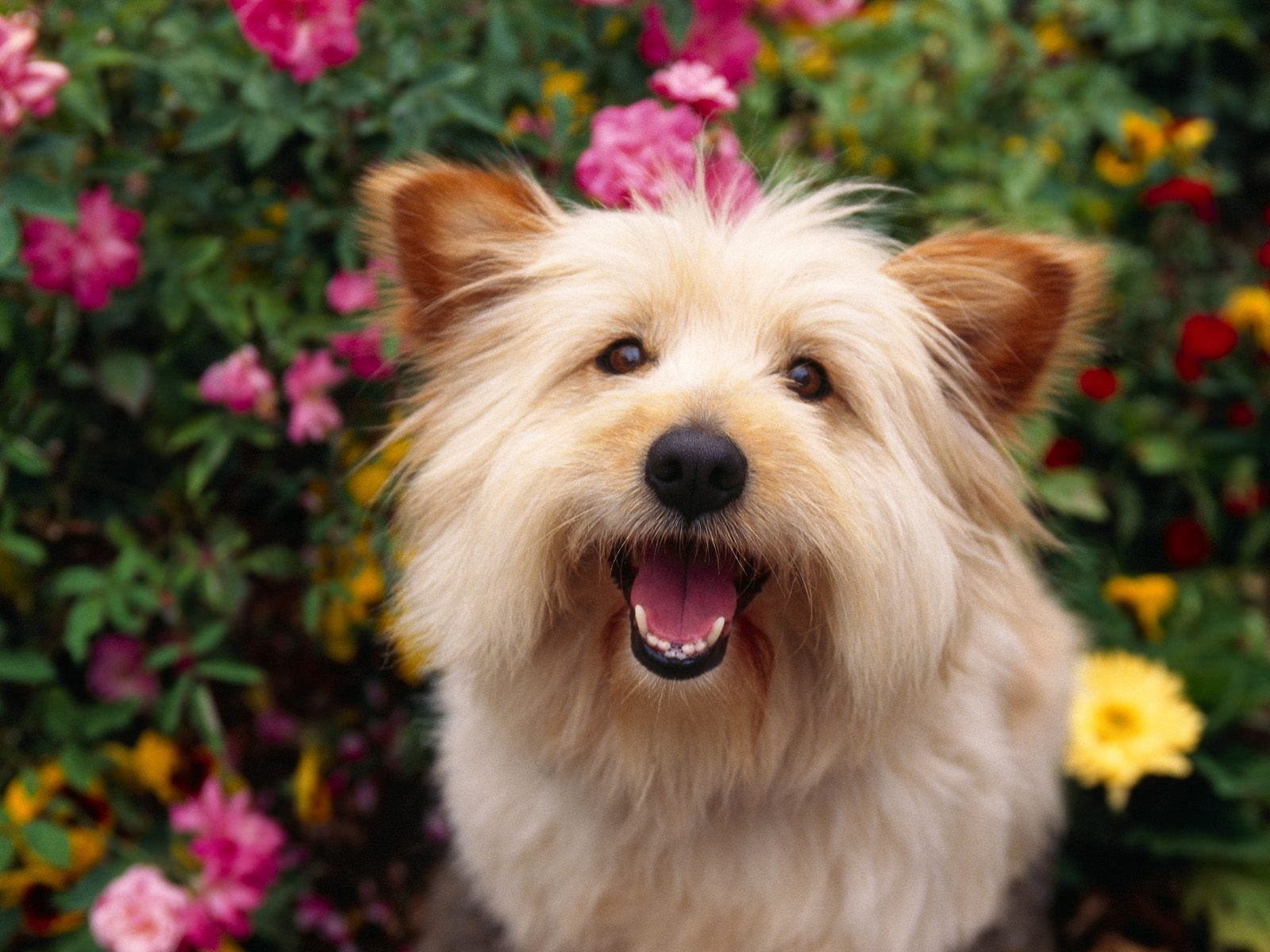 Cairn Terrier in the flowers wallpaper