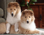 Cute small collie rough puppies