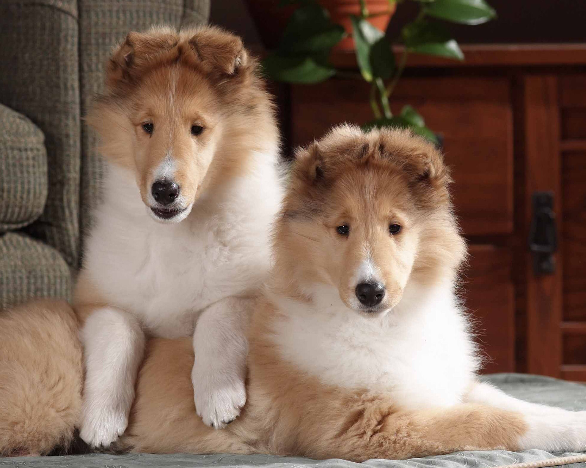 Cute small collie rough puppies photo and wallpaper Beautiful