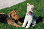 Two Airedale Terriers puppies