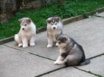Three Alaskan Malamute puppies