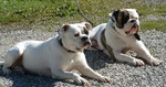 Two American Bulldog