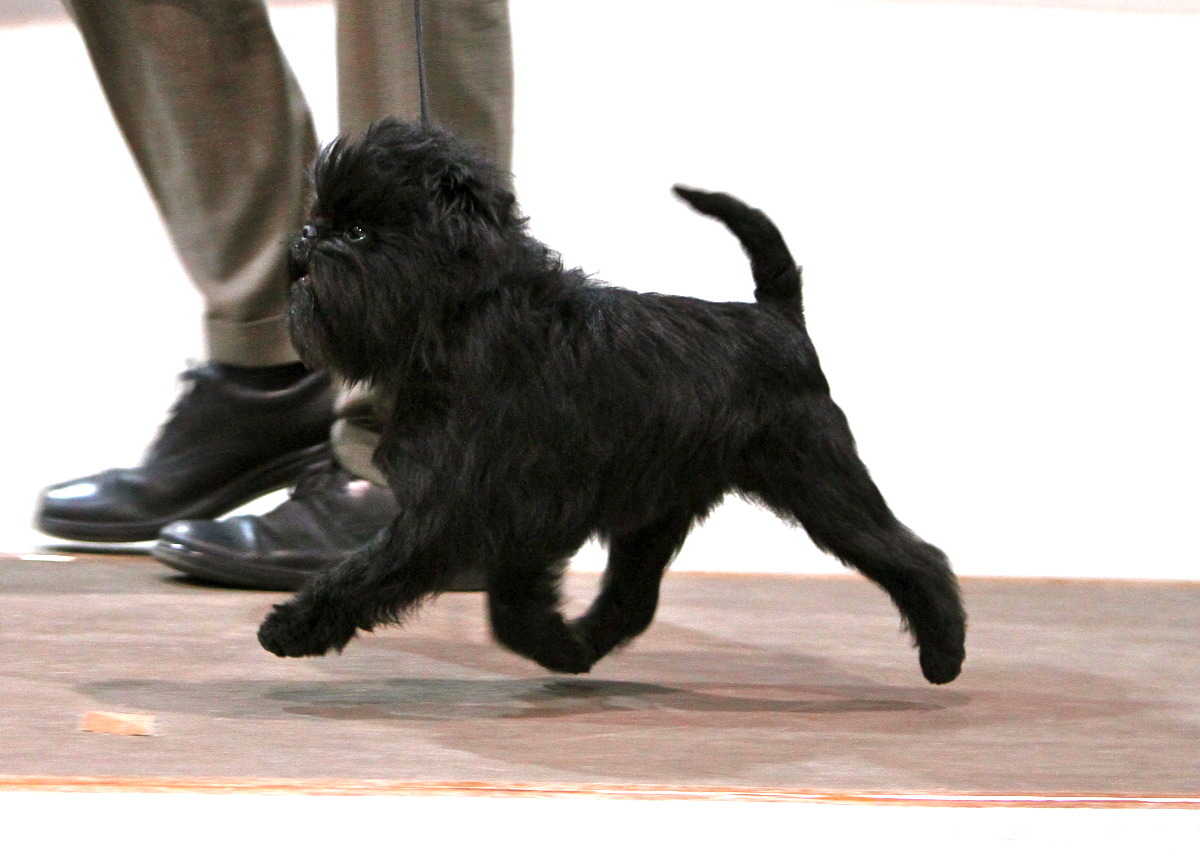 Affenpinscher and his master wallpaper