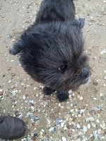 Affenpinscher does not want to be photographed