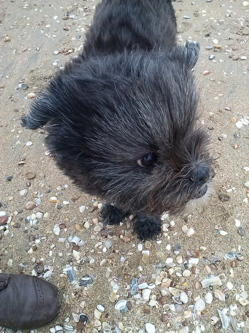 Affenpinscher does not want to be photographed wallpaper