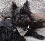 Affenpinscher in costume