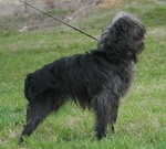 Affenpinscher in the rack