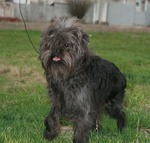 Affenpinscher on a walk