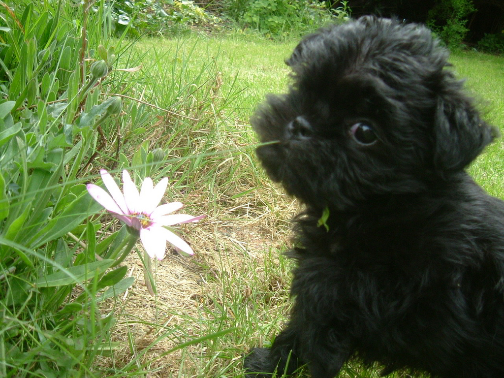 Affenpinscher puppie with flower wallpaper