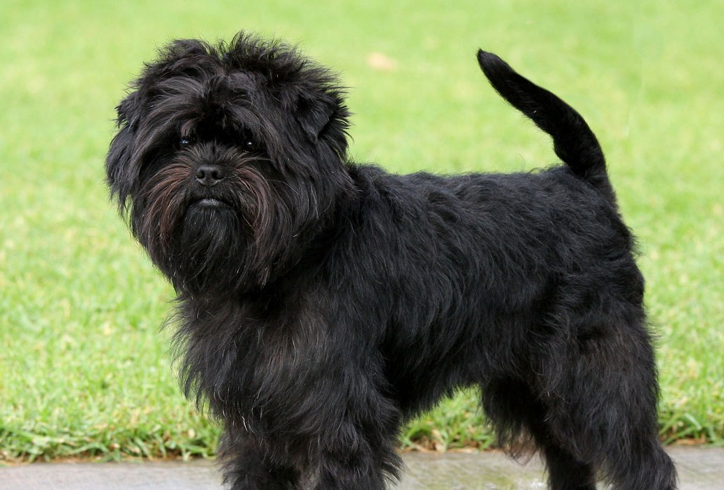 Affenpinscher Rocky wallpaper
