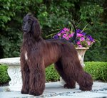 Afghan Hound and flowers
