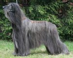 Afghan Hound in the forest
