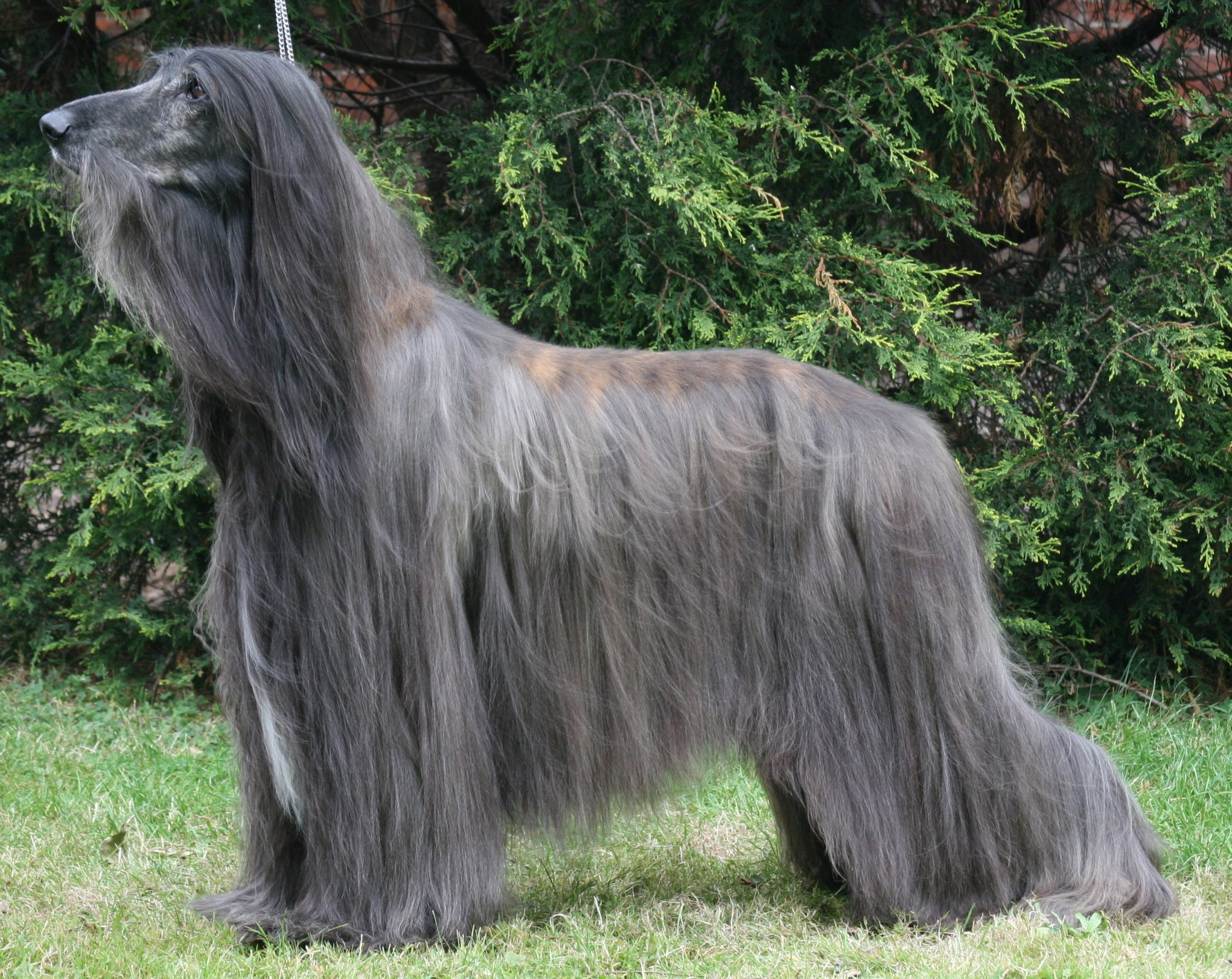 Afghan Hound in the forest wallpaper
