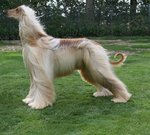 Afghan Hound in the wind