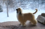 Afghan Hound in winter