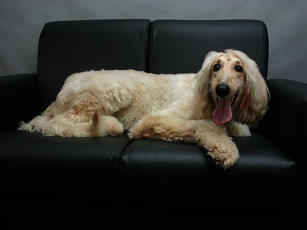 Afghan Hound lying on the sofa wallpaper