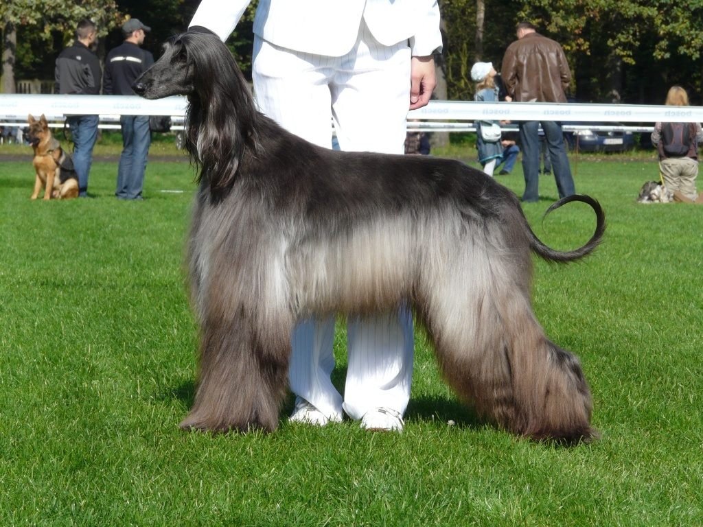 Afghan Hound on dog show photo and wallpaper. Beautiful Afghan Hound