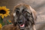 Afghan Hound on the background of sunflowers