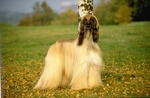 Afghan Hound on the grass