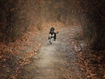Afghan Hound running in the autumn forest