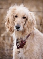 Afghan Hound with ethnic collar