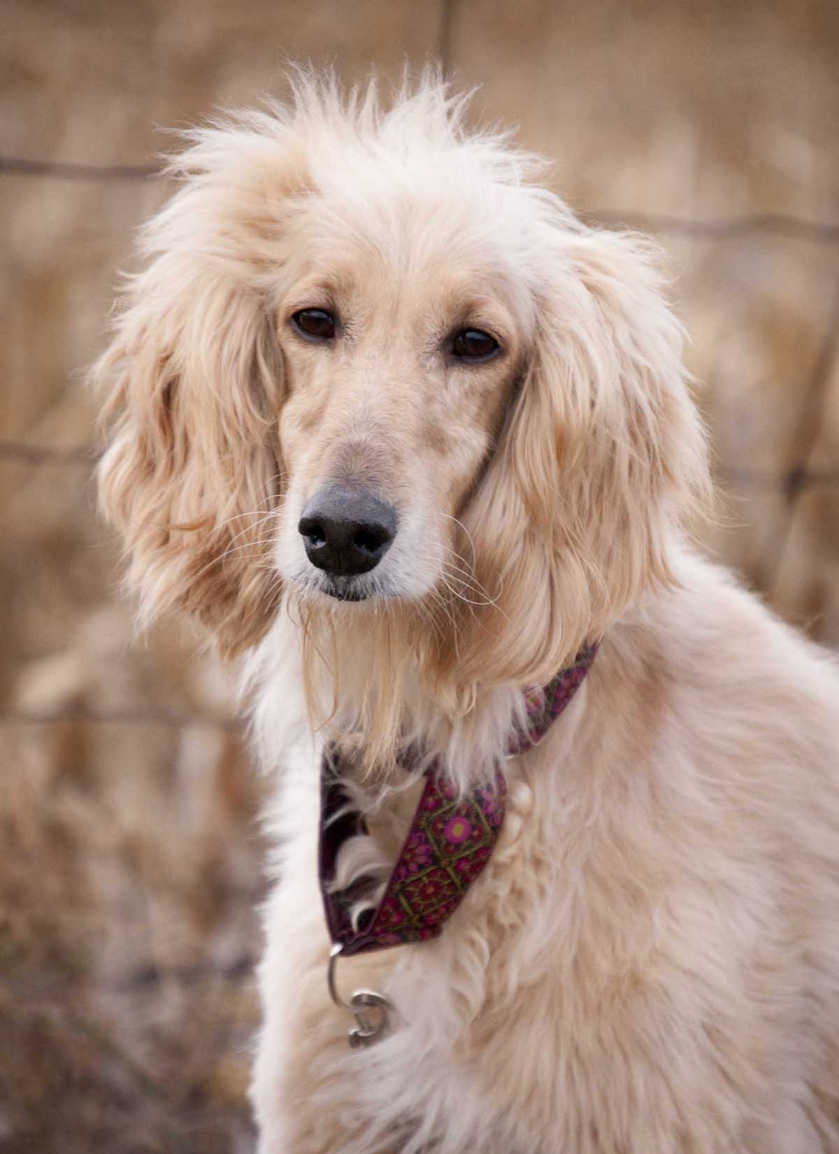 Afghan Hound with ethnic collar wallpaper