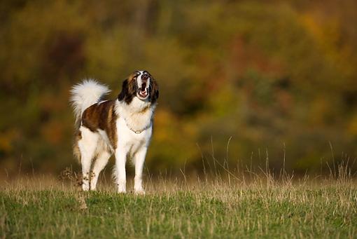 Aidi dog in the field wallpaper