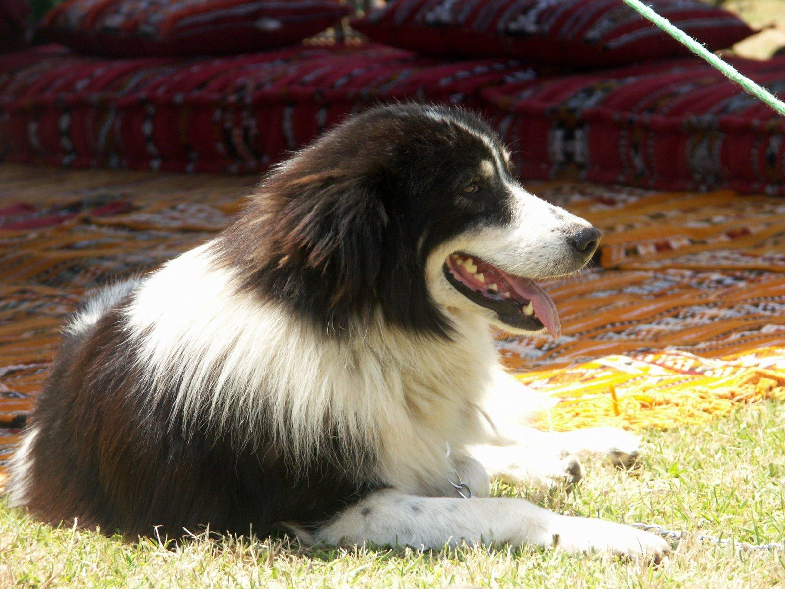 Щенок собаки Аиди фото