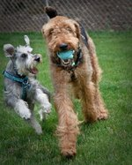 Airedale Terrier and his friend