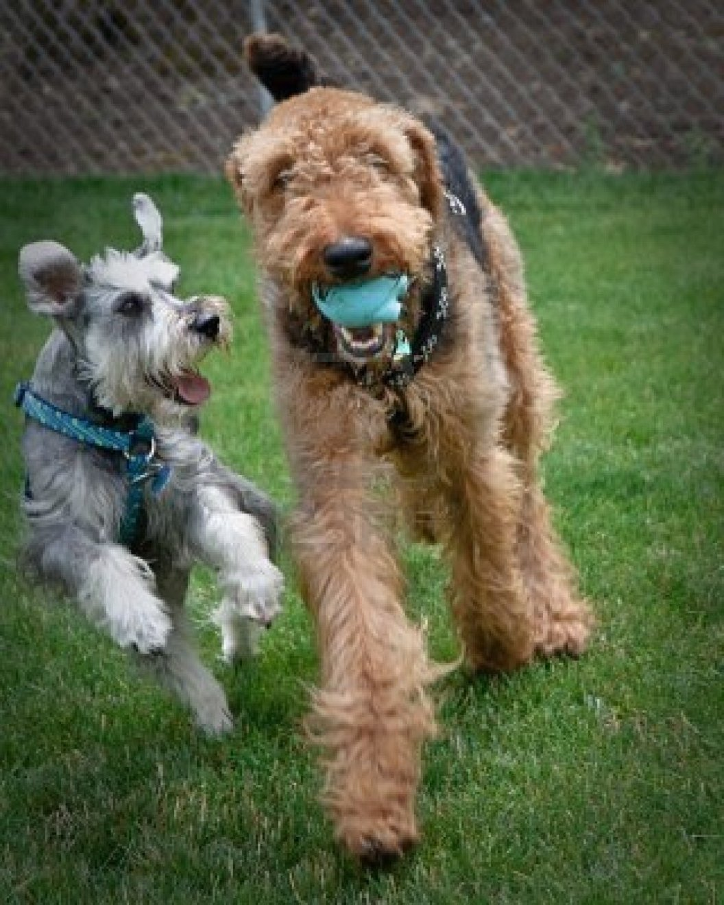 Airedale Terrier and his friend wallpaper