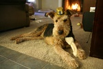 Airedale Terrier and his hat