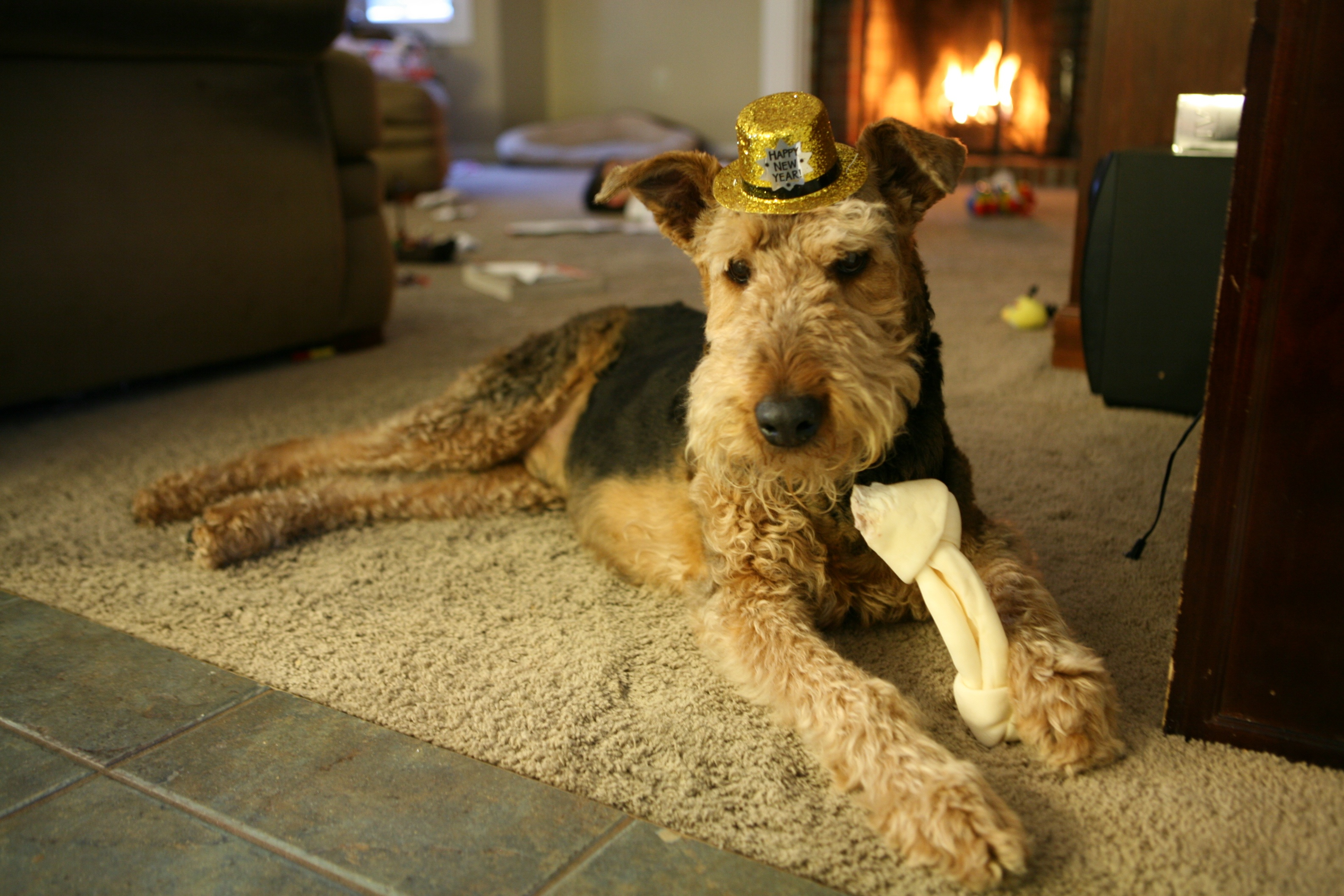 Airedale Terrier and his hat wallpaper