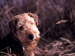 Airedale Terrier and wheat