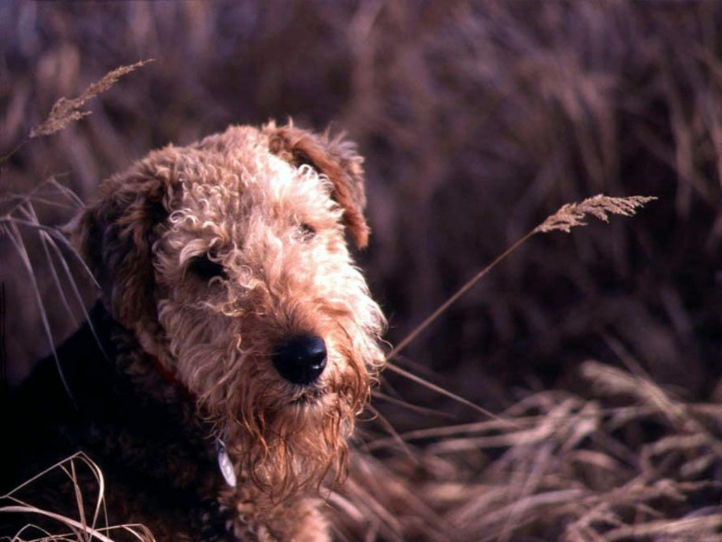 Airedale Terrier and wheat wallpaper