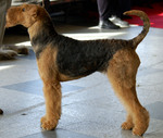 Airedale Terrier Max
