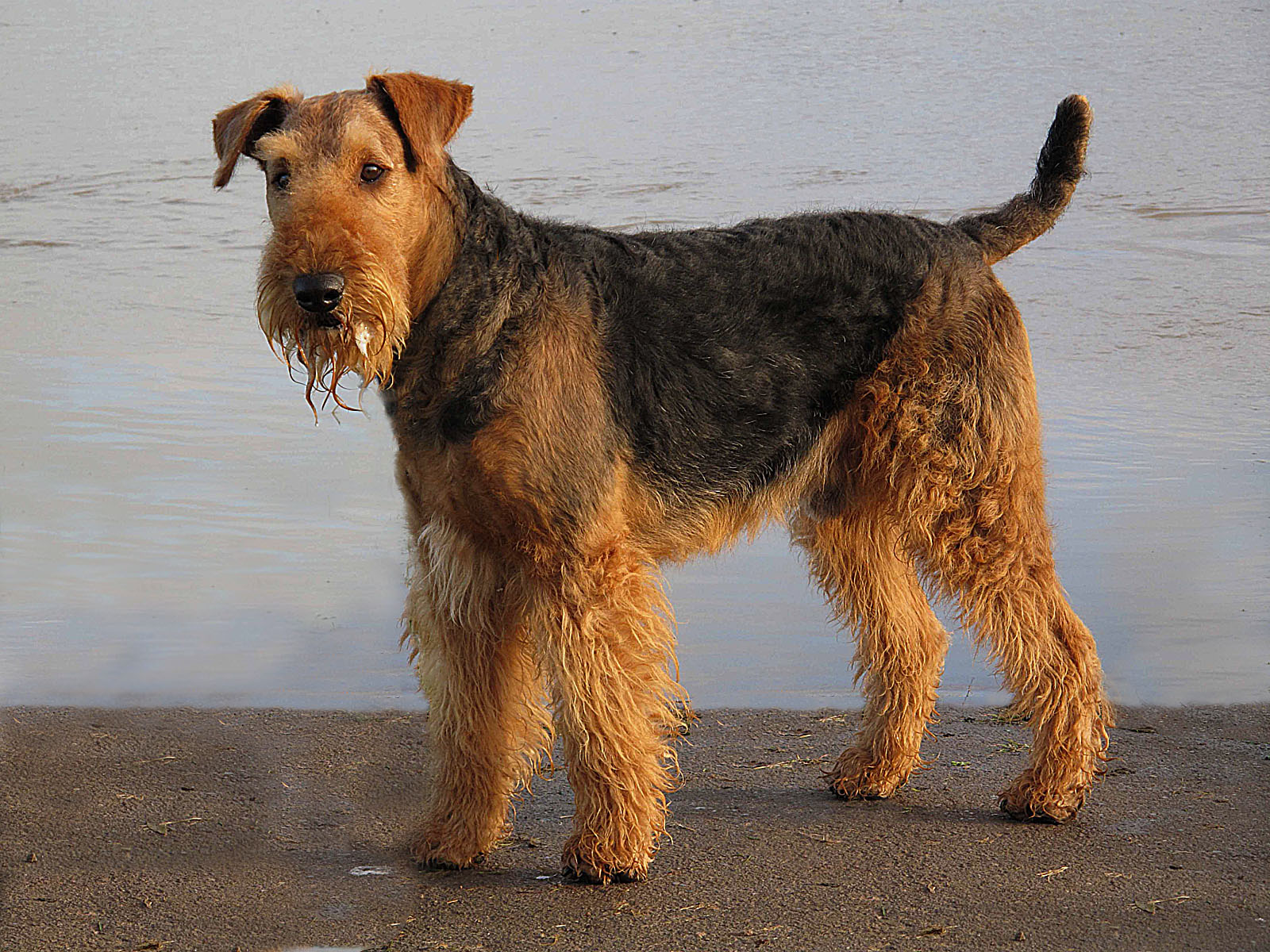 Airedale Terrier on the on the beach wallpaper
