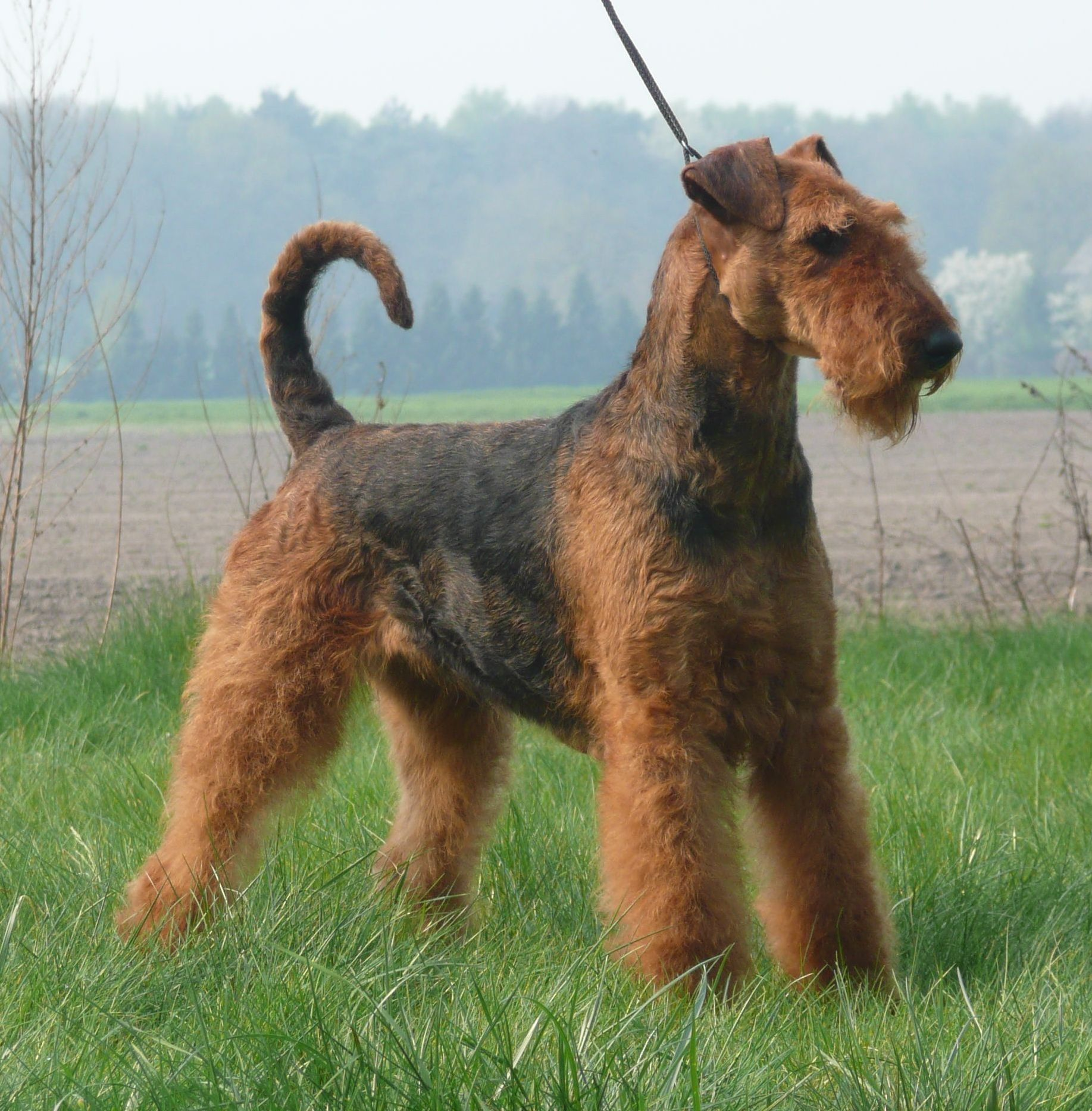 Airedale Terrier on the walk wallpaper