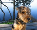 Airedale Terrier outdoors