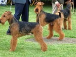 Airedale Terriers on the dog show