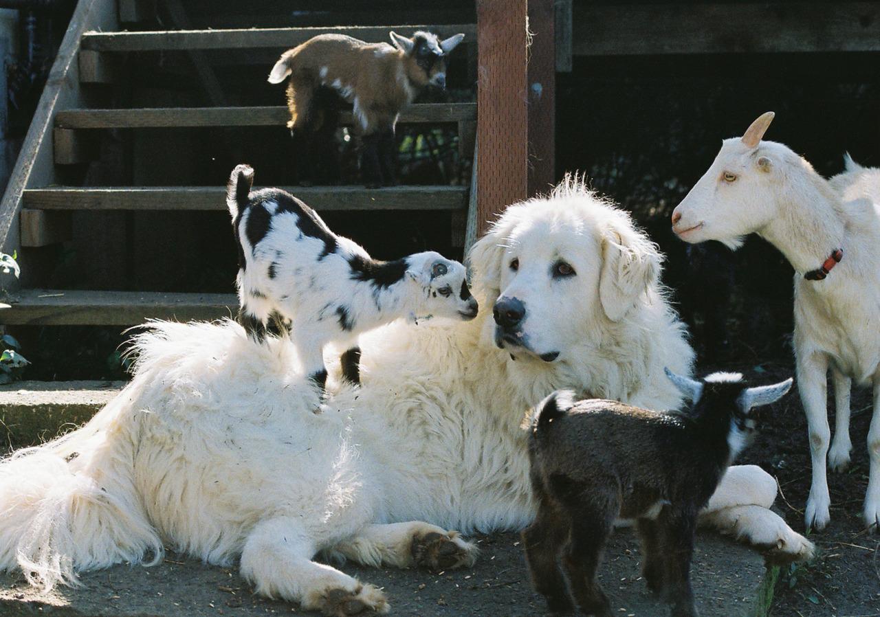 Акбаш и животные на ферме фото