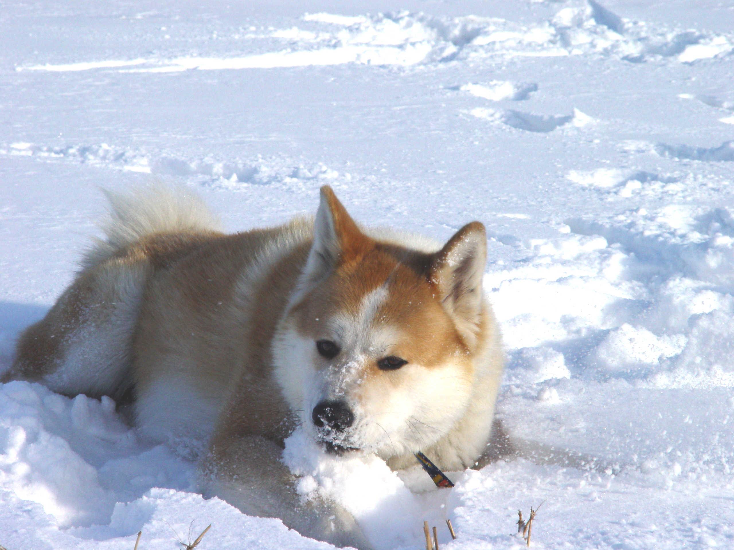 Akita Inu and snow wallpaper