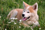 Akita Inu and the flowers