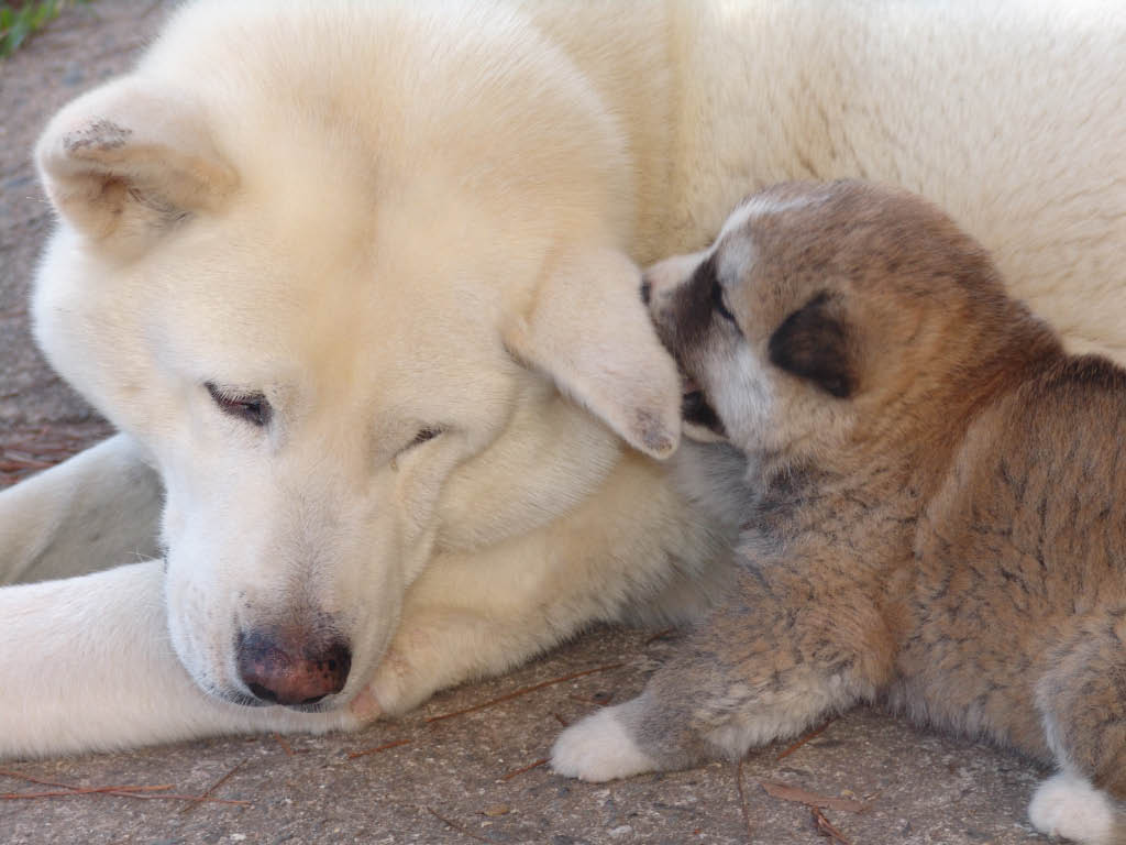 Akita Inu dogs - mother and puppy wallpaper