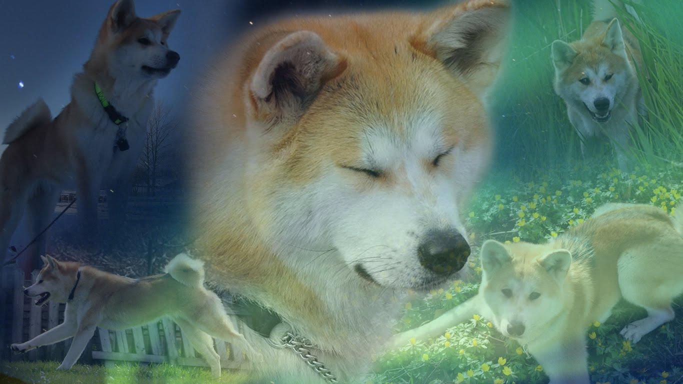 Собаки акита-ину фото