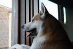 Akita Inu looking at the window