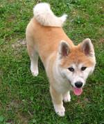 Akita Inu puppy Jack