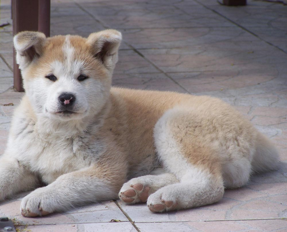 Akita Inu puppy on the floor wallpaper