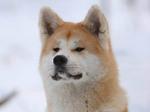 Akita Inu winter