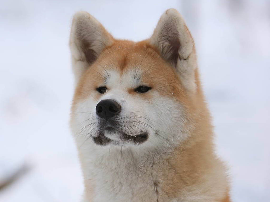 Akita Inu winter wallpaper