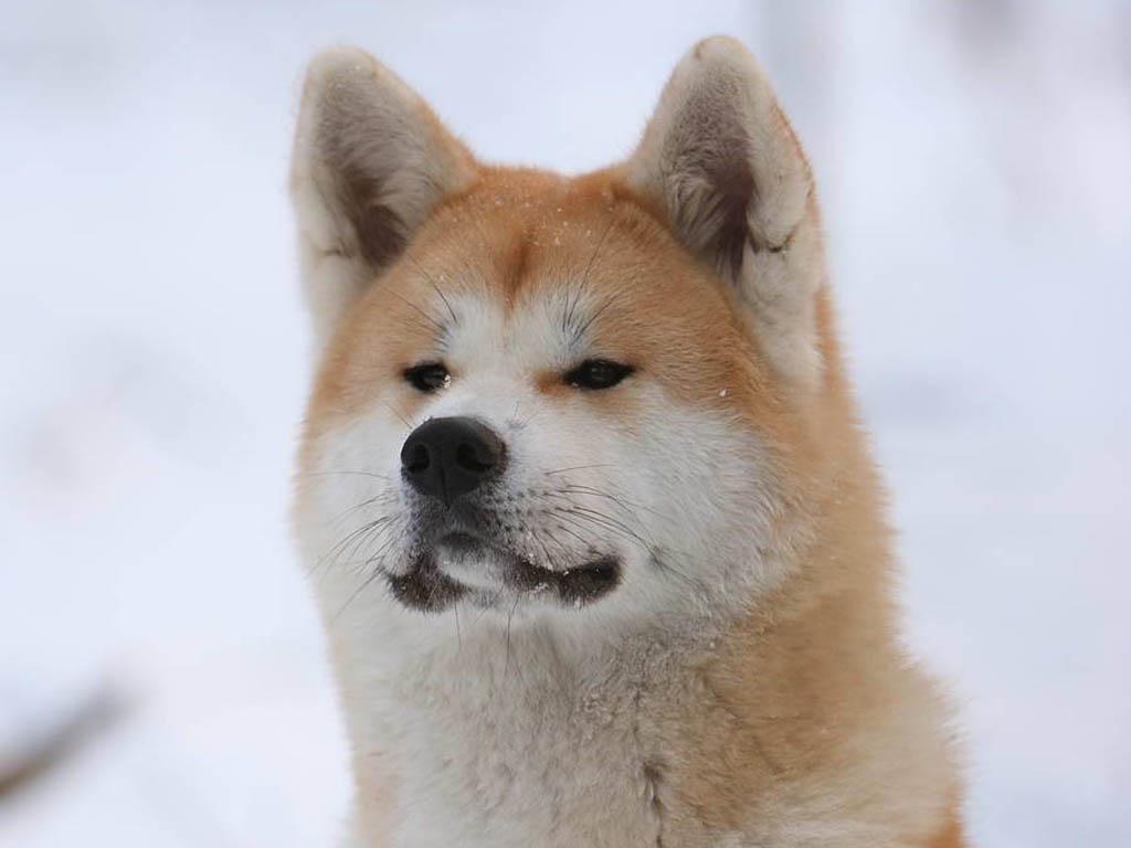 Акита-ину зимой фото